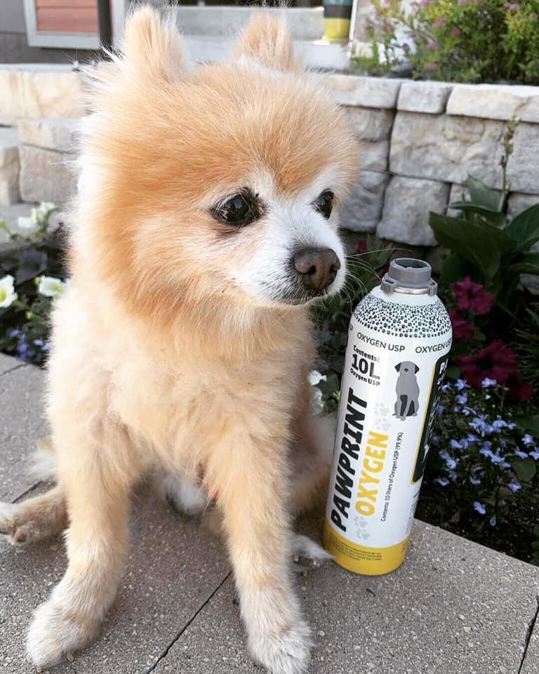 Simba the adorable Pomeranian